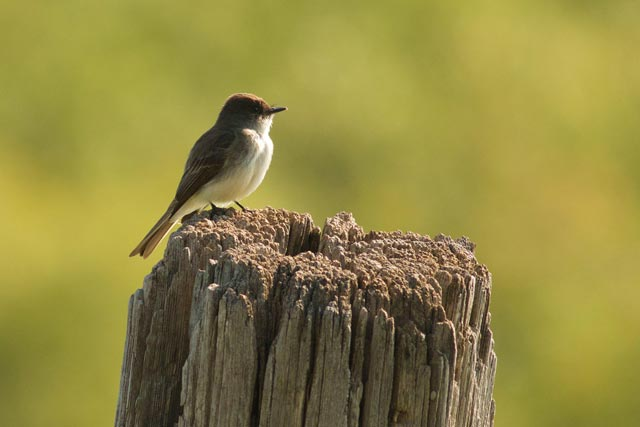 eastern phoebe on a post photo