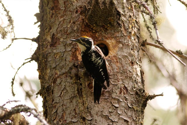 three-toed woodpecker by hole photo