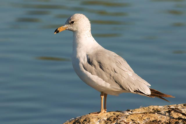 ring-billed gull posed photo