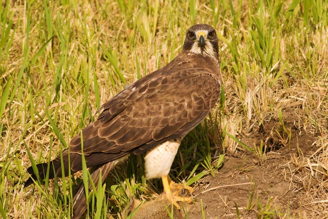 swainson's hawk over gopher photo