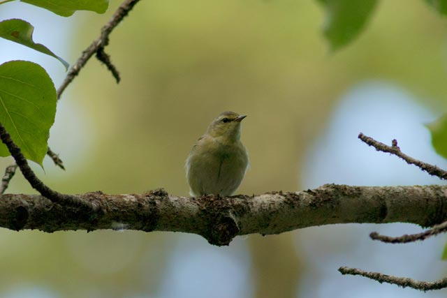 tennessee warbler on a limb photo