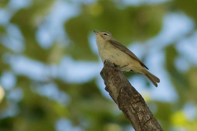 warbling vireo from underneath photo