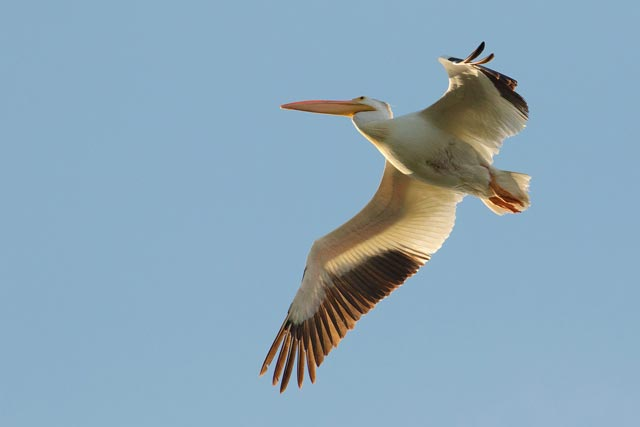 white pelican in flight photo
