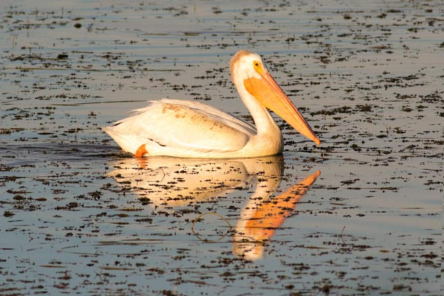 white pelican swimming photo