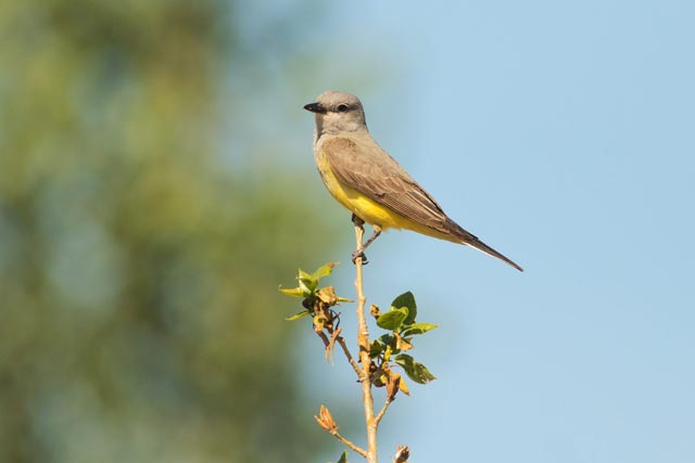 western kingbird photo
