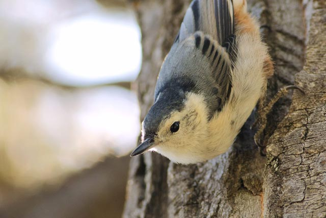 white-breasted nuthatch photo