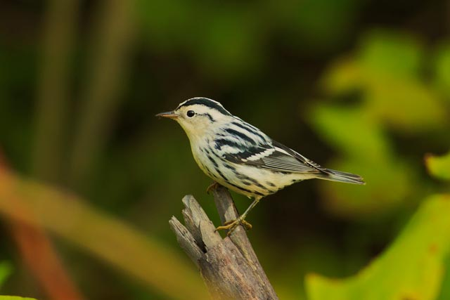 black and white warbler photo