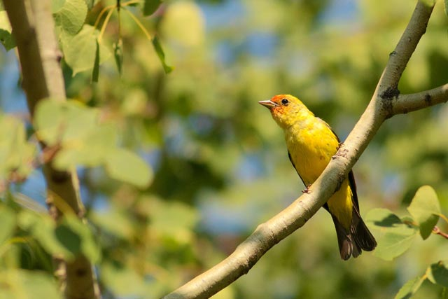 western tanager photo