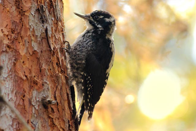 three toed woodpecker photo