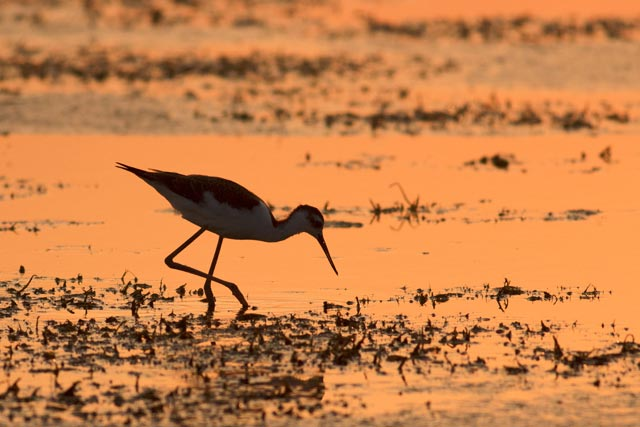 black-necked stilt photo