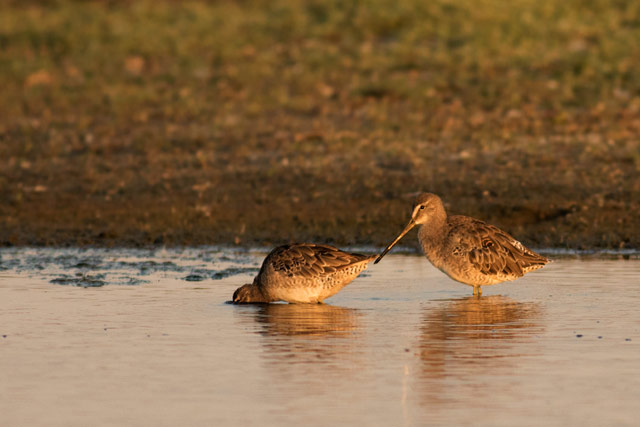 dowitcher photo