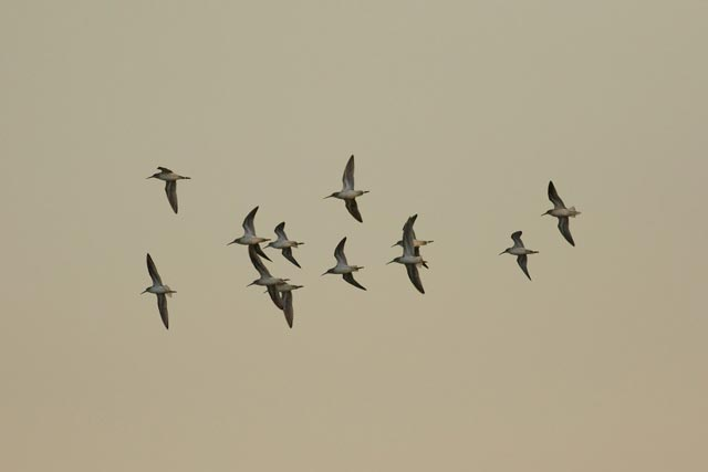 sandpiper flock photo