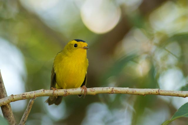 wilsons warbler photo