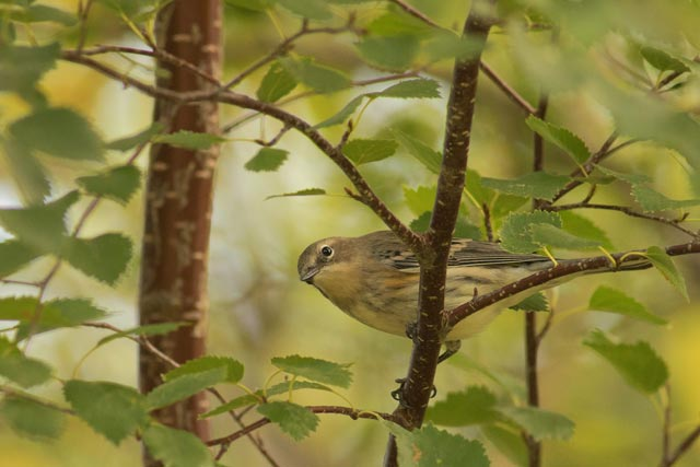 yellow-rumbed warbler photo