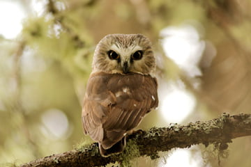 saw-whet owl photo