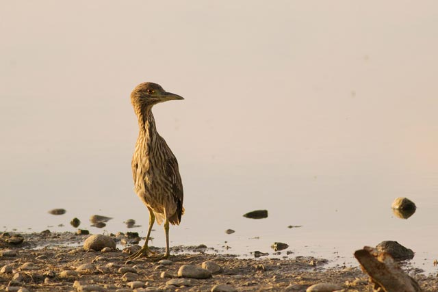 night heron photo