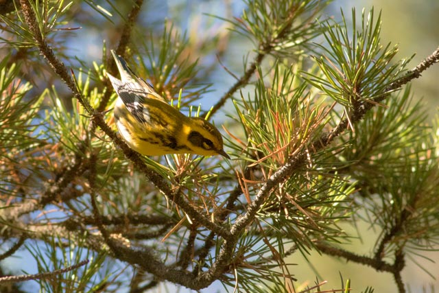 towsends's warbler photo