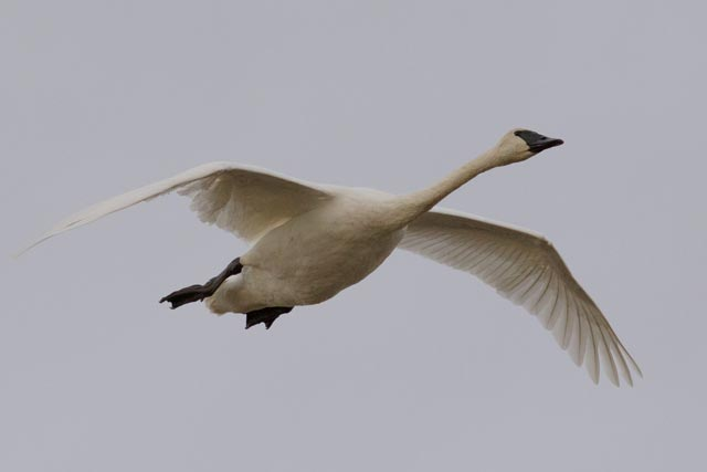 tundra swan photo
