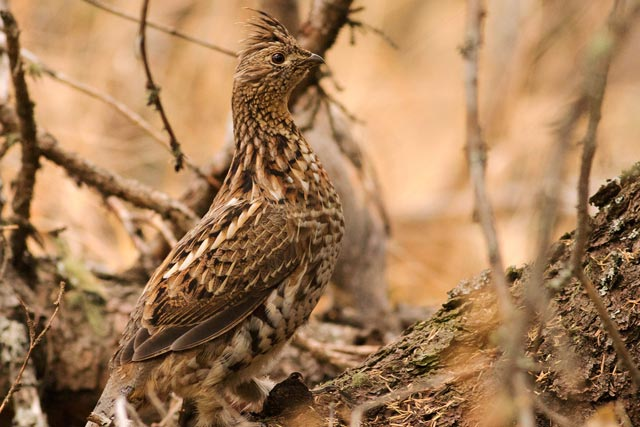 ruffed grouse photo
