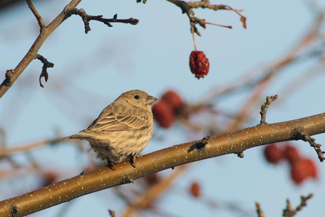 female house finch photo