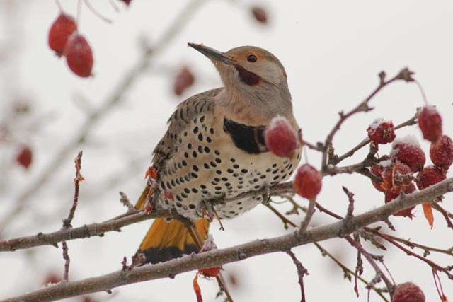 northern flicker photo