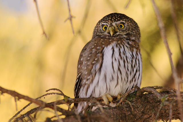 northern pygmy owl photo