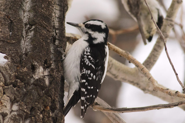 hairy woodpecker photo