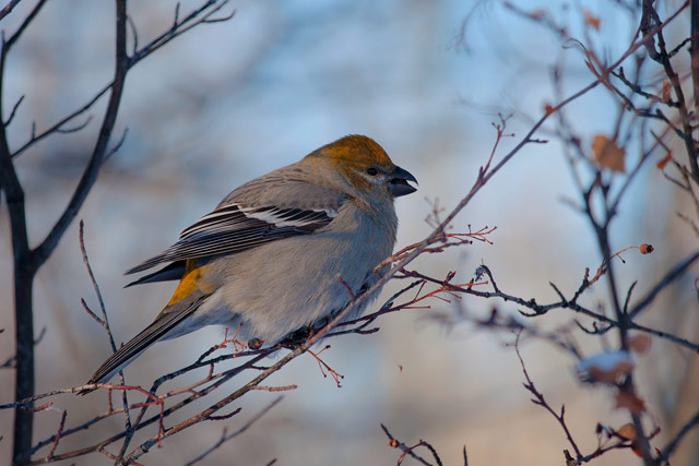 pine grosbeak photo