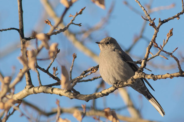 townsend's solitaire photo