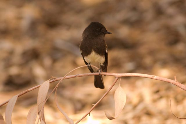 black phoebe photo