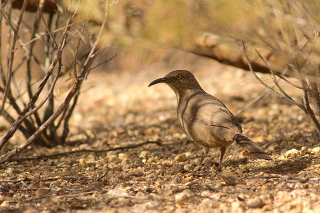 curve-billed thrasher photo