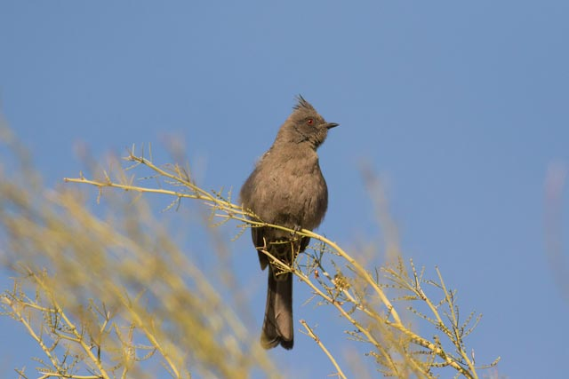phainopepla photo