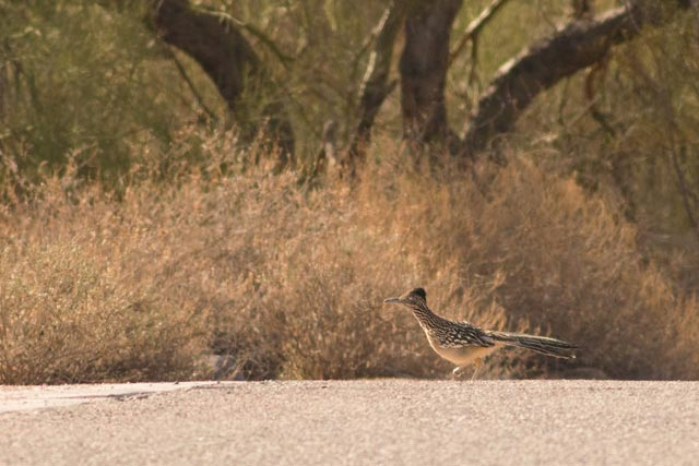 greater roadrunner photo