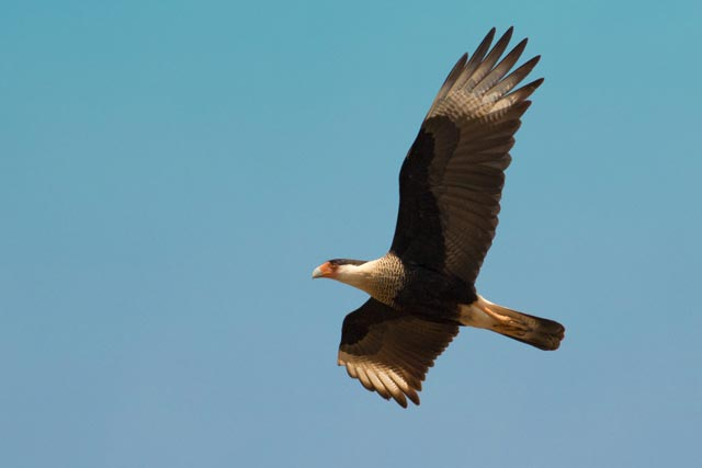 crested caracara photo