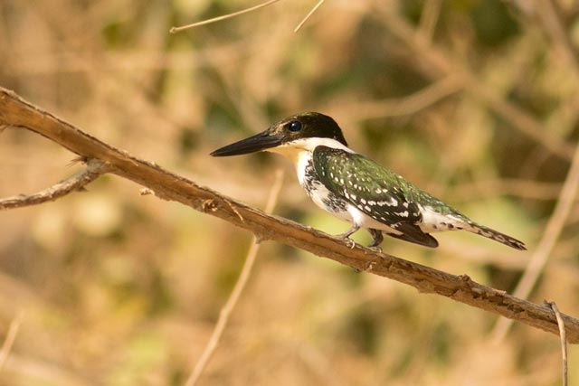 green kingfisher photo