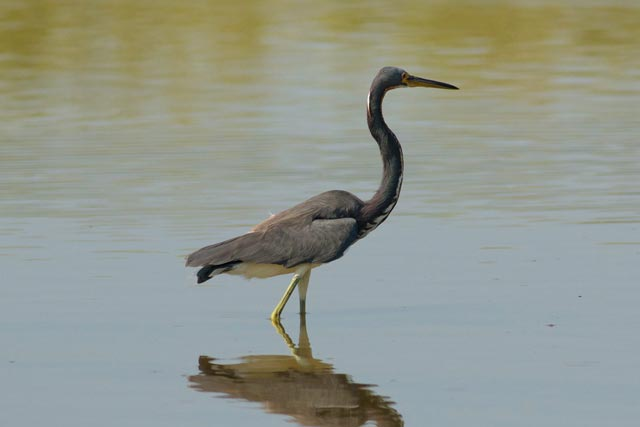 little blue heron photo