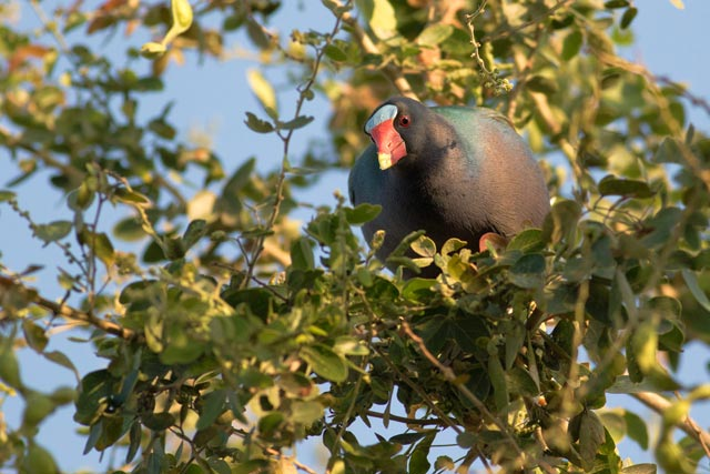 purple gallinule photo