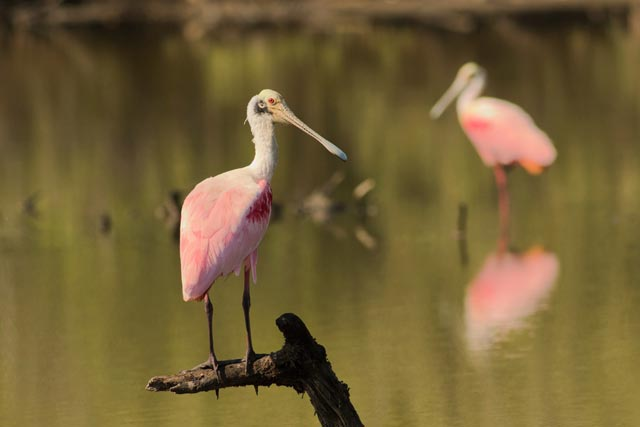 spoonbill photo