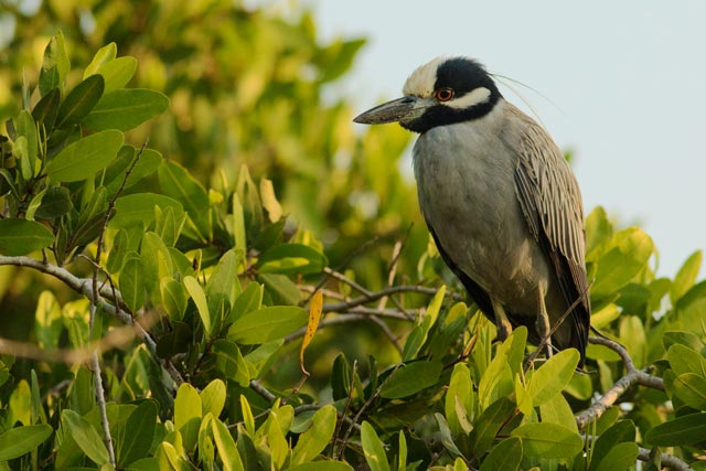 yellow-crowned night heron photo