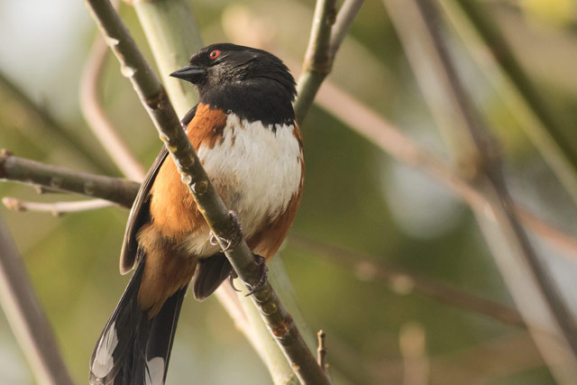 spotted towhee photo