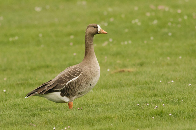 white fronted goose photo