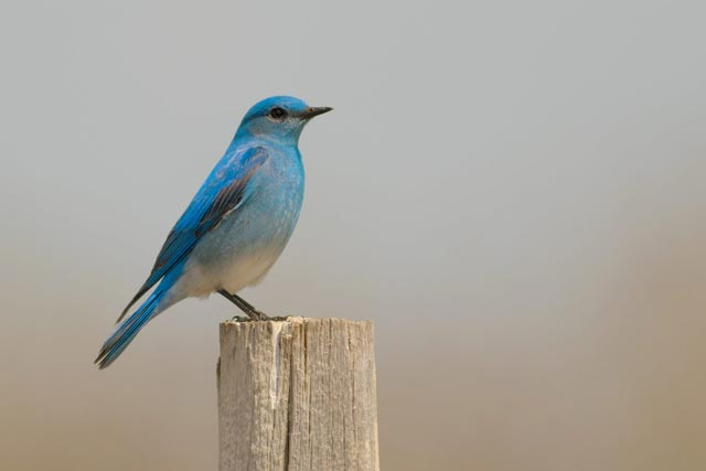 mountain bluebird photo