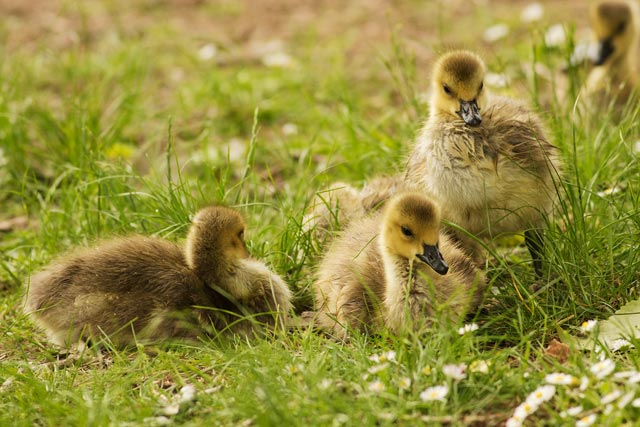canada goose goslings photo