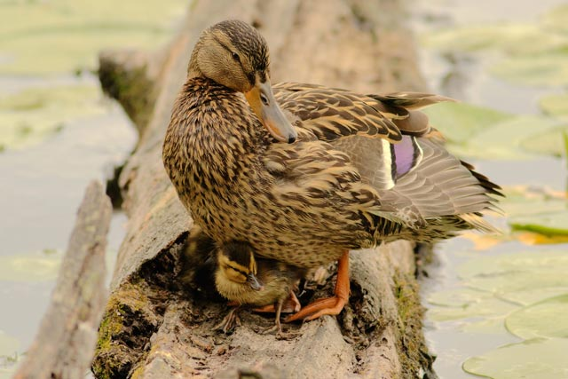 mallard duckling photo