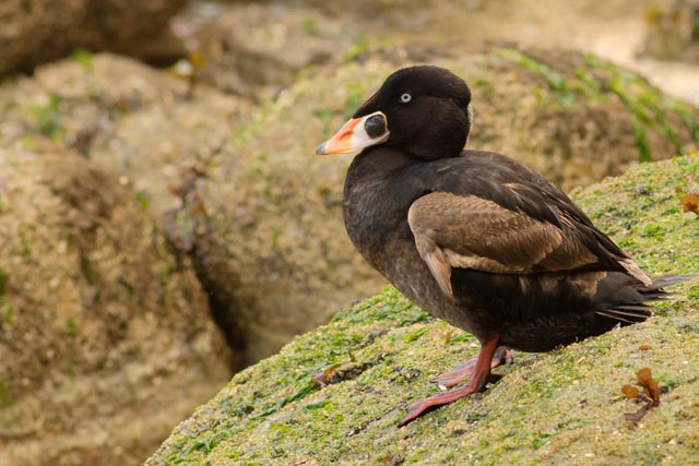 surf scoter photo