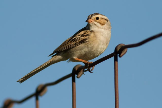 clay-colored sparrow photo