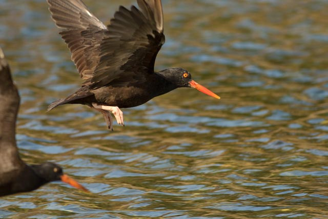 oyster catcher photo