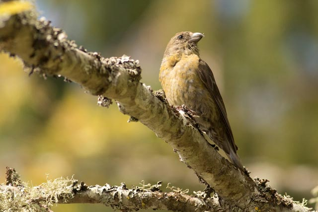 white-winged crosbill photo