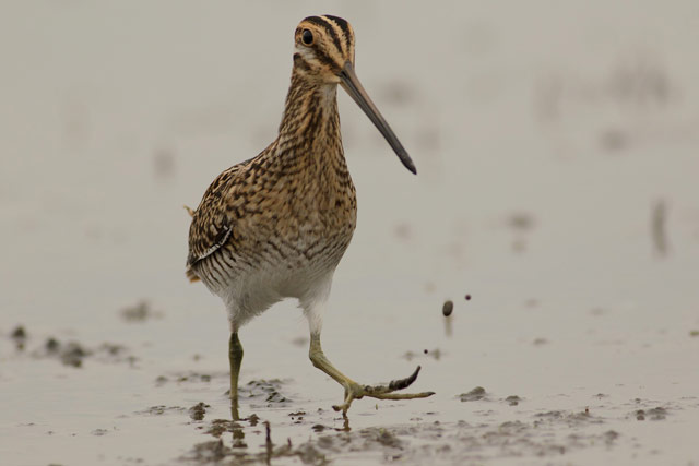 wilsons snipe photo