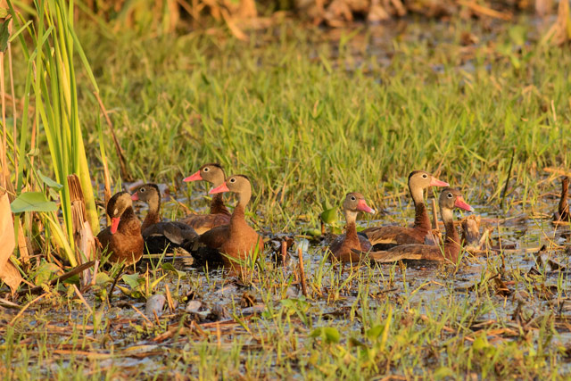 black-billed whistling duck photo